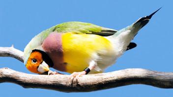 Yellow Head Gouldian (Hen)