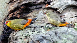 African Gold Breasted Waxbill