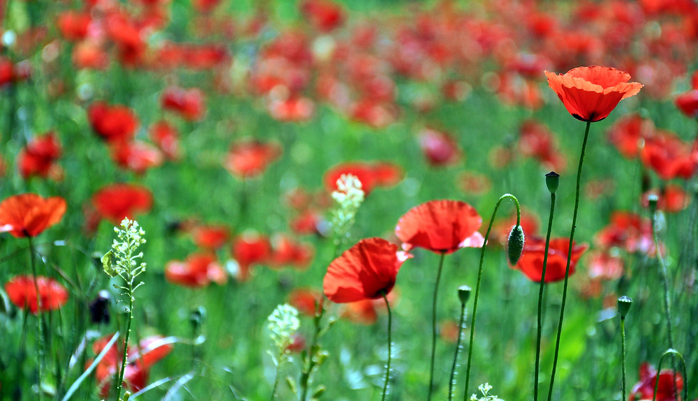 Poppy plant by Foodie in Provence
