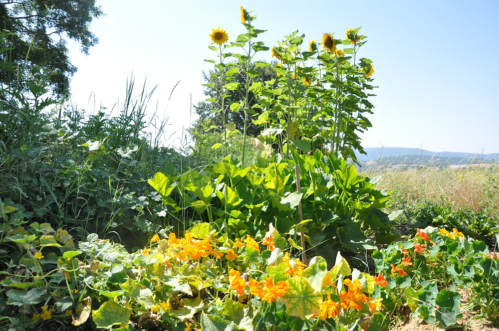 Foodie in Pce Companion Planting