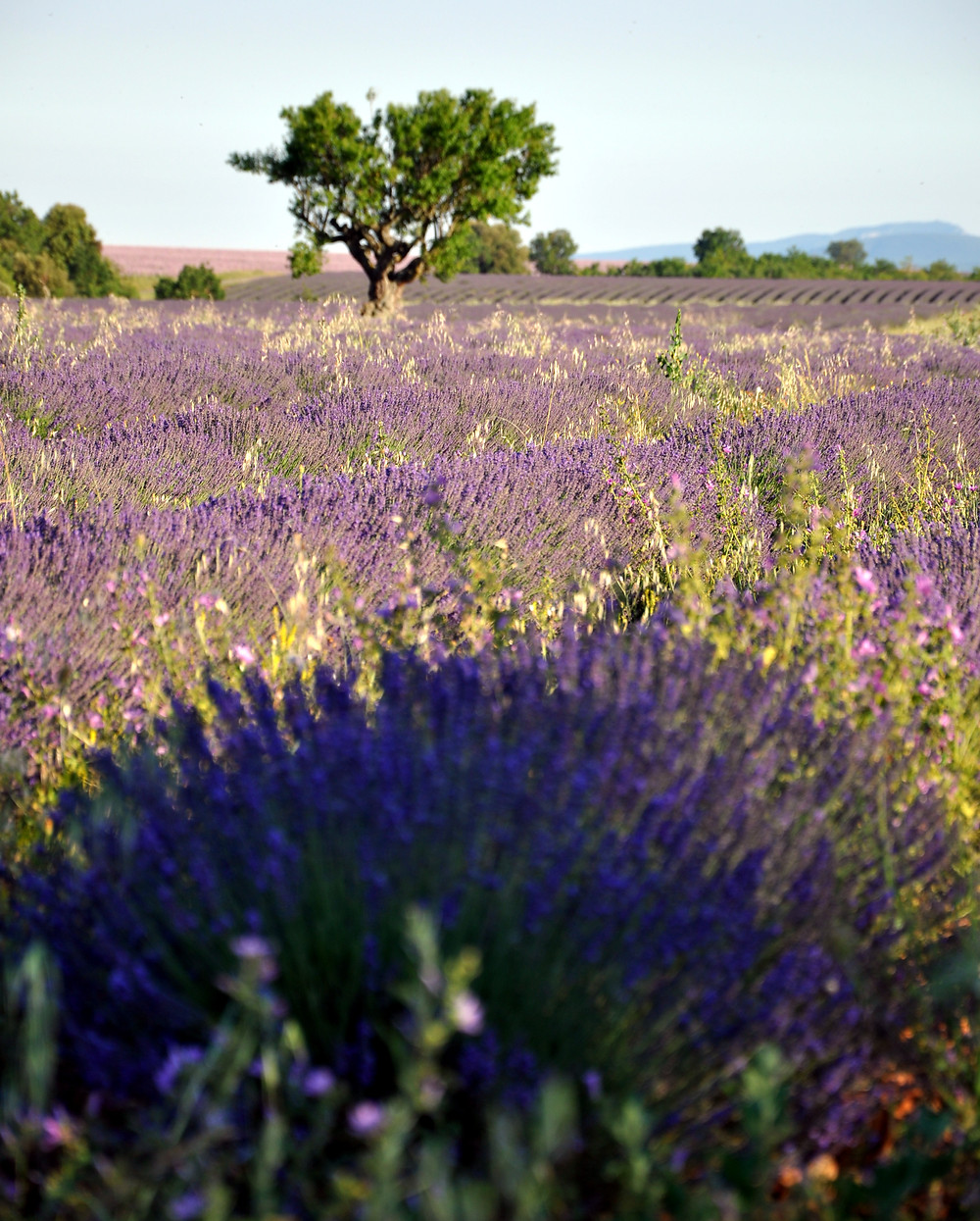 Lavender fields Foodie in Provence