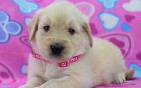 nim white f pink paws 4wk 001.JPG