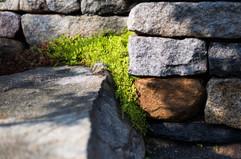 Sedum and Ice plant between stones