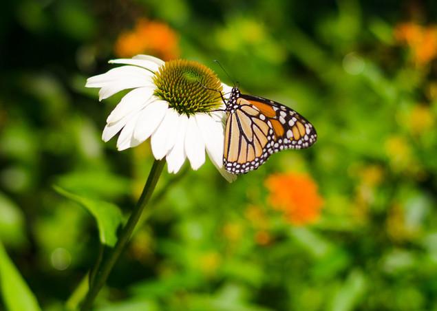 Monarch butterfly in native garden
