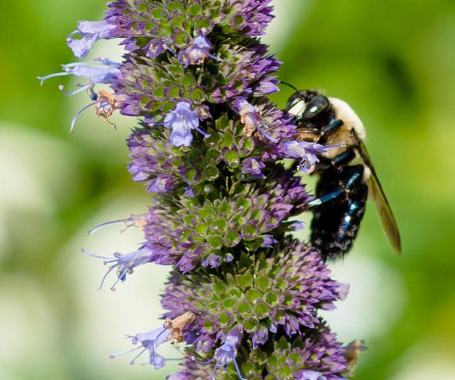 Bumblebee on Agastache flower