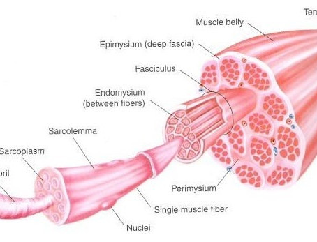 Muscle Strains and Tears