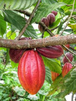 costarica,cabosses cacao,Pandeazucar