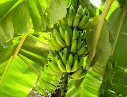 costa rica, banane, Pandeazucar