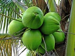 costa rica, coconut, Pandeazucar
