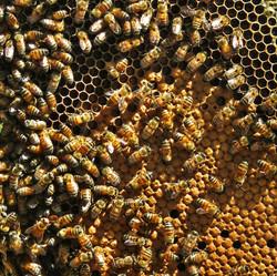 costa rica, ruche, Pandeazucar