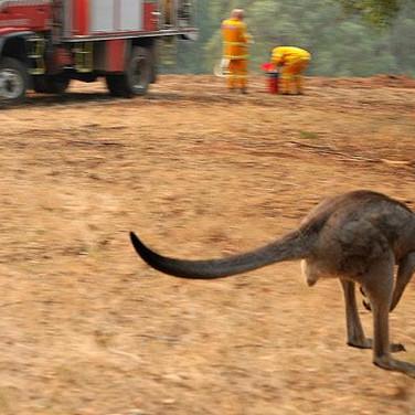 kangaroo-run
