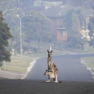 kangaroo & joey in street.jpg