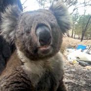 hungry koala.jpg