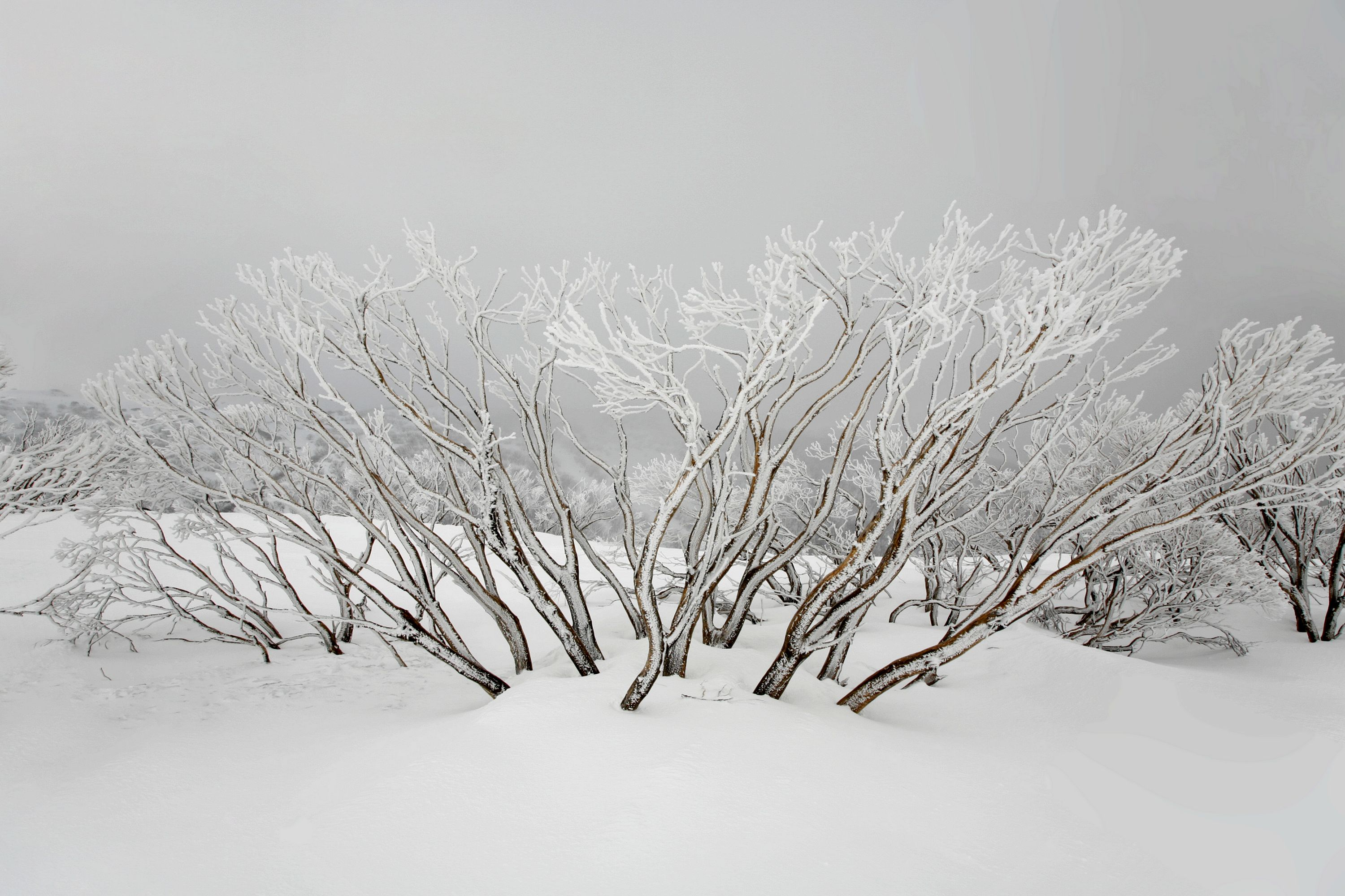 Snowgum Trunks in Mist and Snow