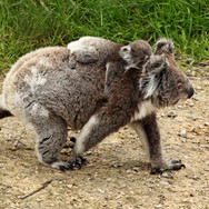 Koala-and-joey-walking---wiki.jpg
