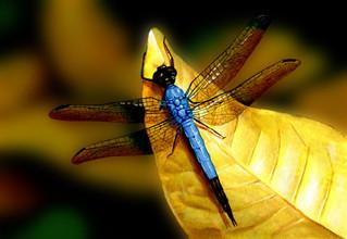 lg_27Dragonfly.jpg
