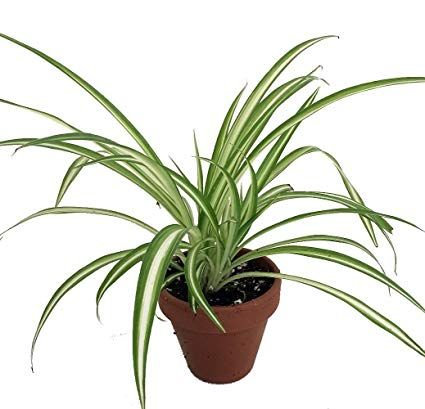 HB SPIDER PLANT (SLCA)