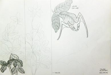 Taiwan Indigenous Species : Taiwan Golden Bat