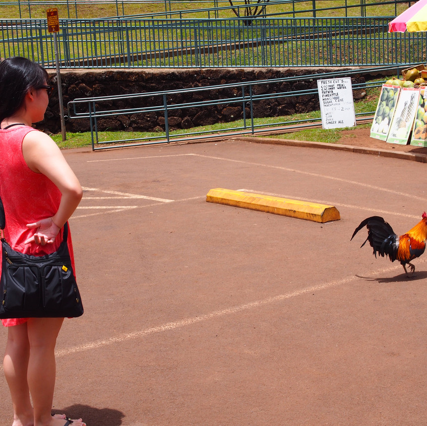 Kauai is also known for the many roosters and chickens that live on island.