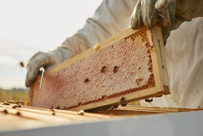 Honey frames being pulled from hive
