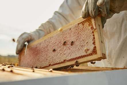 Frame being pulled out of hive