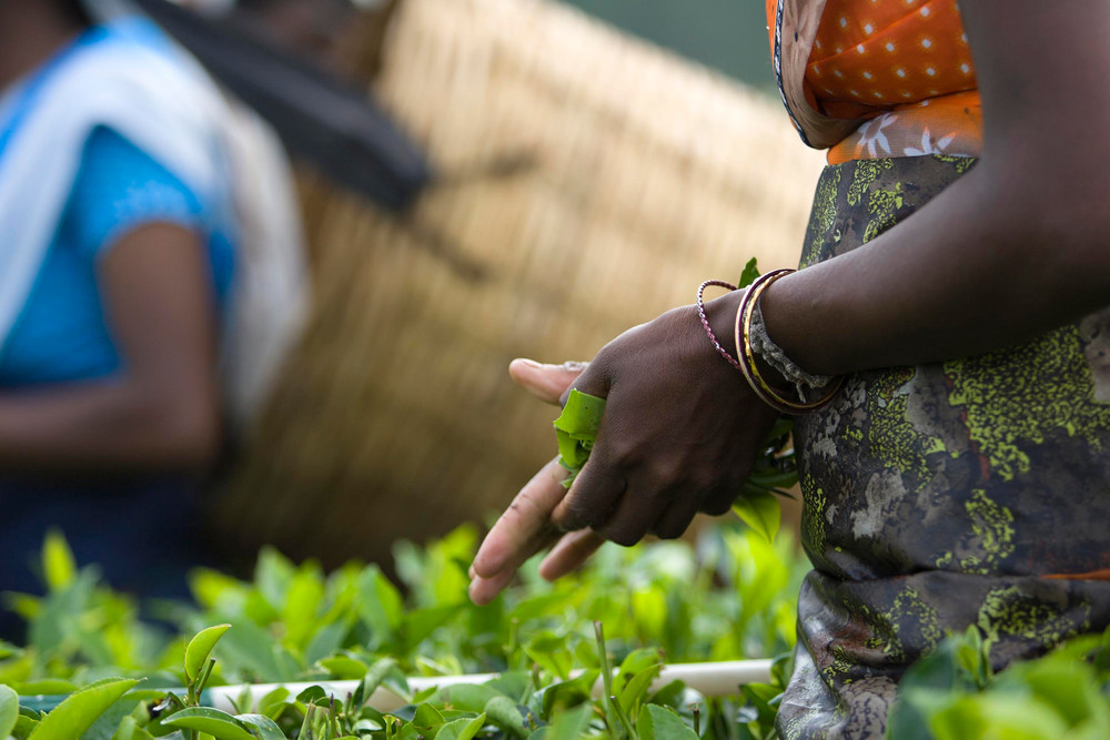 Documentary | Ceylon Tea