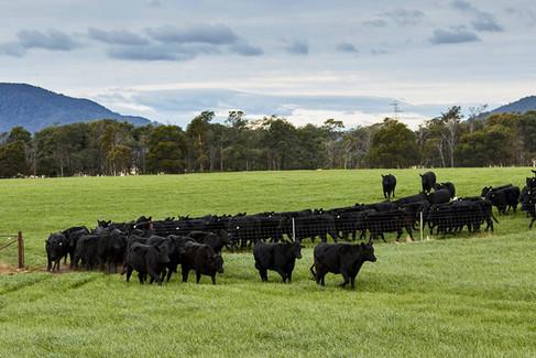 Cattle farm in North East Tasmania