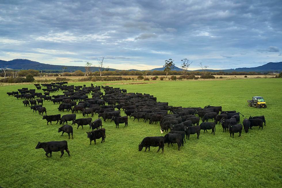 Aerial of cattle farm in North East Tasmania