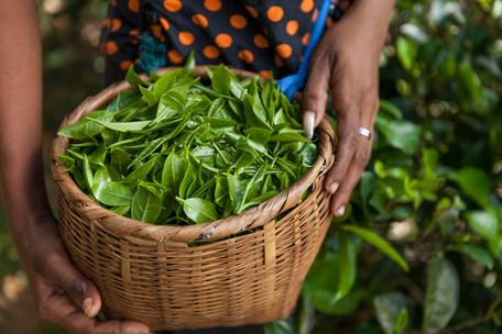 Woven basket of hand picked low country tea - Elpitiya, Sri Lanka