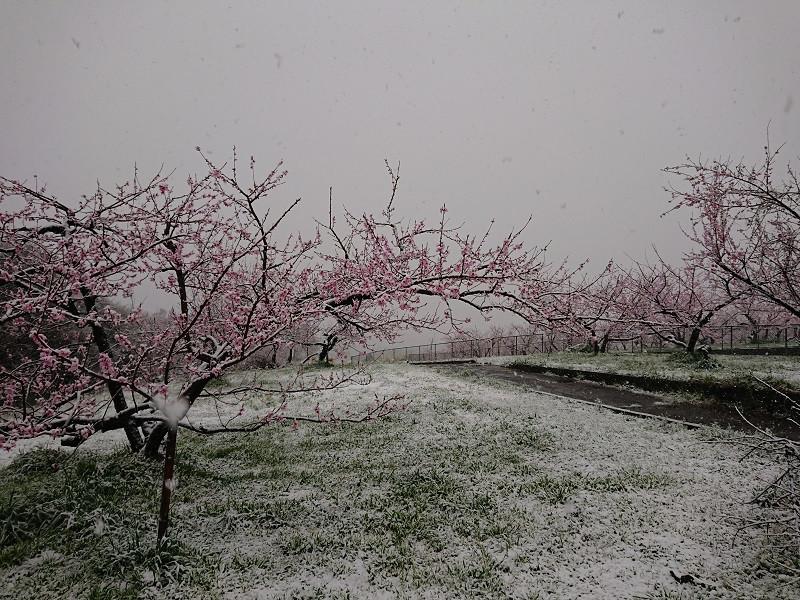 後山の桃畑も一面真っ白。