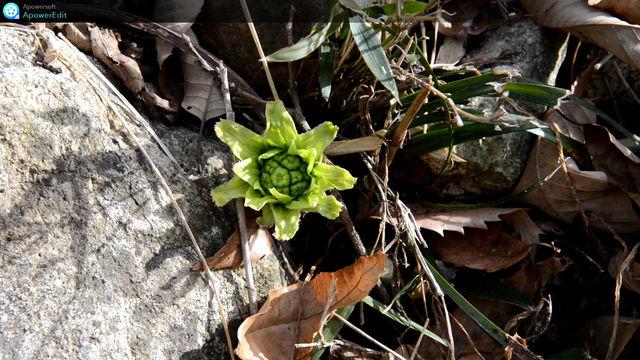 山廬周辺の蕗の薹 2月