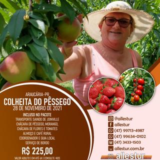 28/11/2021 - COLHEITA DO PÊSSEGO