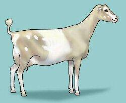 lamancha dairy goat.jpg