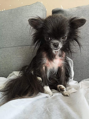Chihuahua with Alopecia and Bad smell