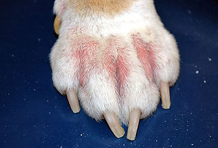 cornell_rf_photo_of_dogs_paw_with_allerg