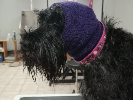 Who said you couldn't brush this Schnauzer ?