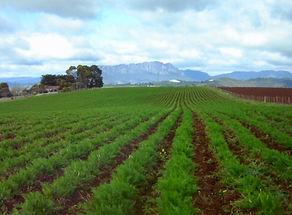 Organic fennel sep18.jpg