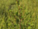 EOT Kunzea close-up_edited.jpg