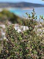 EOT Coastal TeaTree closeup2.JPG