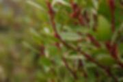 EOT TNP leaf close-up_edited.jpg