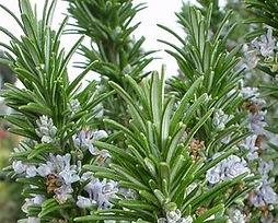 EOT Rosemary flower.jpg