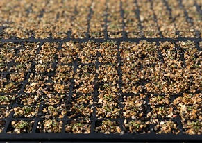 EOT Kunzea Seedlings_edited.jpg