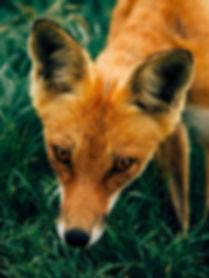 fox_480x.jpg
