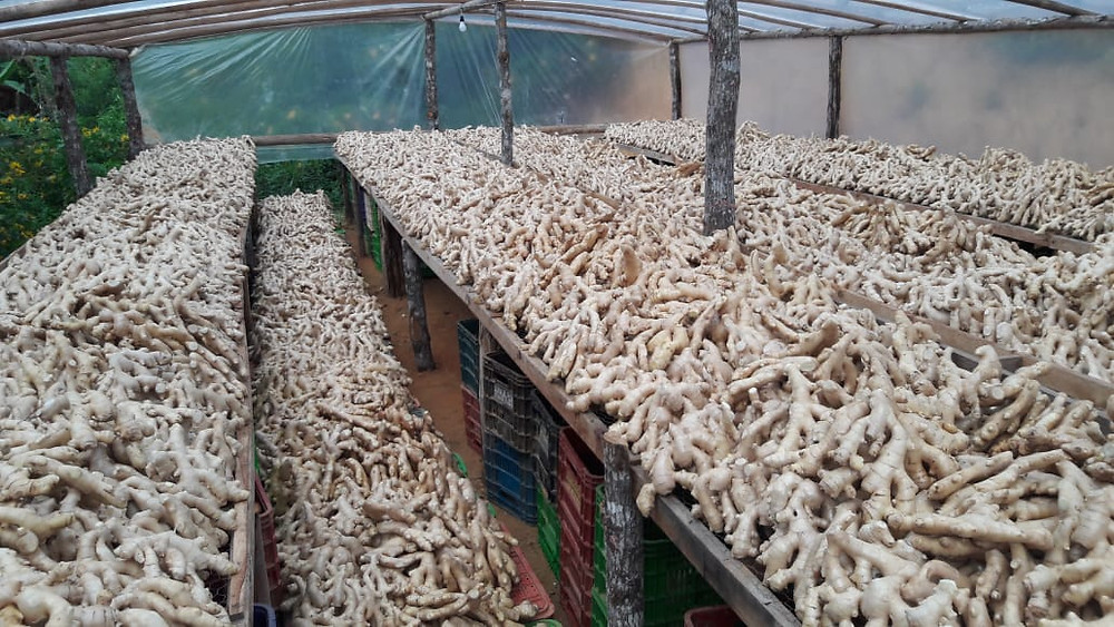 A load of ginger being dried inside a greenhouse in the state of espírito santo, brazil, before being exported.