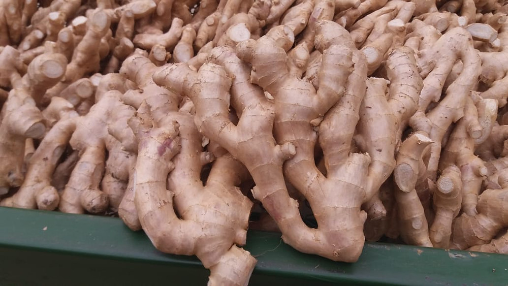 A big pile of fresh ginger drying in a packing house in the state of espirito santo in brazil before it gets packed and exported.