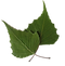 Birch Leaves no background.png