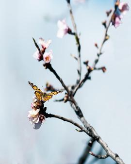 Mariposa en almendro