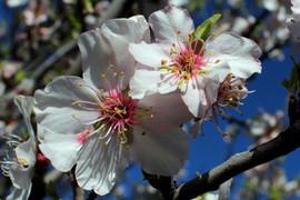 La belleza de la flor del Almendro