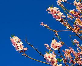 La_première_fleur_de_l'amandier_1._Valle