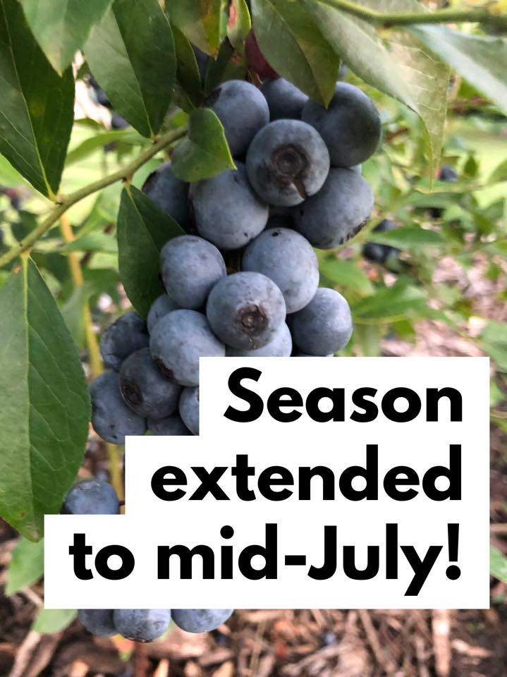 Blueberry Season Extended to Mid-July!